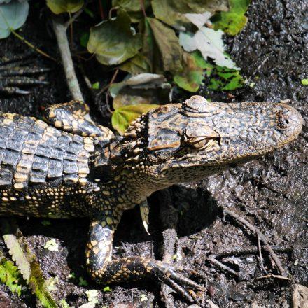 Florida Baby Alligator