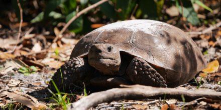 Florida Schildkröte