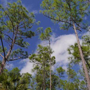 Florida Bäume