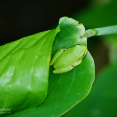 Florida Corkscrew Swamp Sanctuary Grüner Frosch