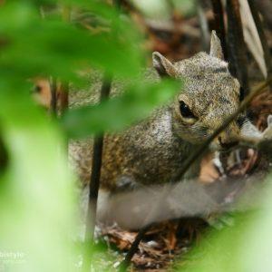 Florida Eichhörnchen