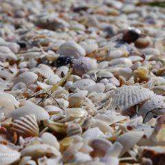 Florida Muscheln am Strand