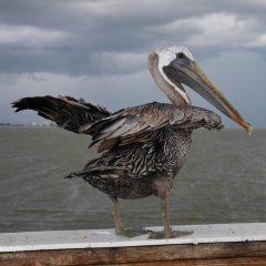 Florida Pelikan am Abflug