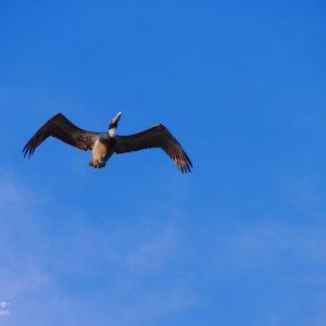 Florida Pelikan im Flug