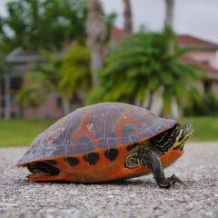 Florida Schildkröte in Wohnsiedlung